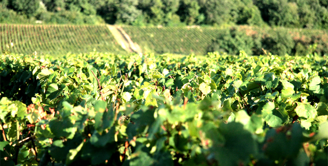 Domaine Rois Mages - Rully - Netvin